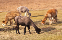 Herd of alpacas. alpaca portrait Stock Photo