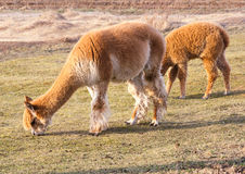 Herd of alpacas. alpaca portrait Royalty Free Stock Photo