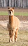 Herd of alpacas. alpaca portrait Royalty Free Stock Images