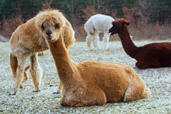 Herd of alpacas. alpaca portrait Stock Photos