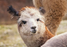Herd of alpacas. alpaca portrait Stock Photography