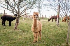 Herd of alpacas Stock Photography