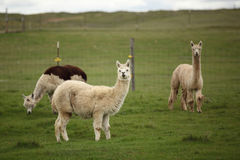 Herd of alpacas. farm with green background. Royalty Free Stock Photo