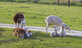 Herd of alpacas Royalty Free Stock Photography