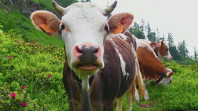Herd of alpine cows with cowbells stock video footage