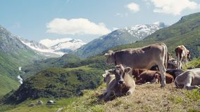 A herd of Alpine cows resting and gazing on the green hills of Alps, high snowy peaks on the background. Farming stock footage