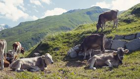 A herd of Alpine cows resting on the green hills of Alps, high mountains and large stones on the background. Farming stock footage