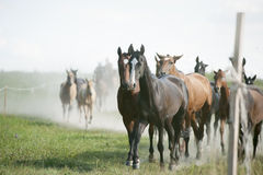 Herd of an amazing akhal-teke horses return home Royalty Free Stock Images