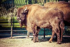 Herd of American Bison (Bison Bison) or Buffalo Royalty Free Stock Photo