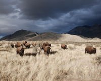 Herd of American Bison Buffalo on a Stormy Day Royalty Free Stock Photography