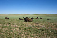 Herd of American Buffalo Royalty Free Stock Image