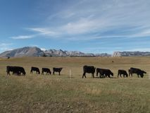 The Herd. Of the Angus cattle and The Durmitor mountain at the background stock images