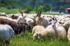 Herd of animals. Herd of goats and ships in the mountains of Georgia Stock Image