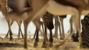 Herd of animals undertake long journeys in search of water. Migration of animals in the African savannah stock image