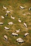 Herd of antelope. Bird's view on herd of antelope Royalty Free Stock Photo