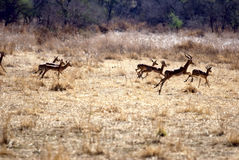 Herd of antelope Stock Images