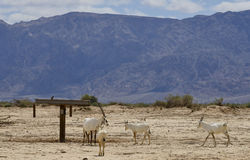 Herd of antelope, the Arabian oryx Royalty Free Stock Photography
