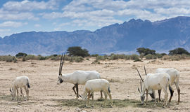 Herd of antelope, the Arabian oryx Royalty Free Stock Photos