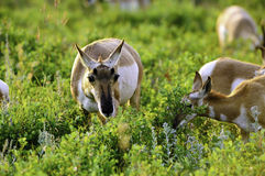 Herd of Antelope Royalty Free Stock Images