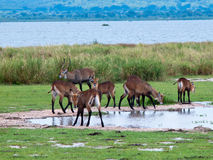 Herd of antelope is near the grass. On a background of lake Royalty Free Stock Images