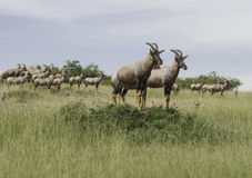 A herd of antelope Topi Royalty Free Stock Photography