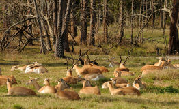 Herd of antelopes Stock Photos