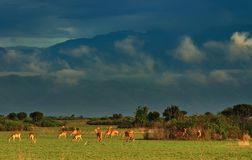 Herd of antelopes Stock Image