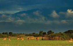 Herd of antelopes Stock Image