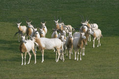 Herd of antelopes Royalty Free Stock Images