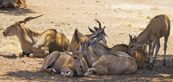 Herd of antelopes Royalty Free Stock Photography