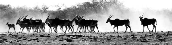 A herd of antelopes in the African desert royalty free stock photography