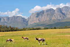 Herd of antelopes against amazing mountains Stock Photos