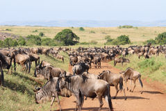 Herd of antelopes Gnu. Focus on the nearest antelope (Masai Mara Reserve, Kenya Royalty Free Stock Images