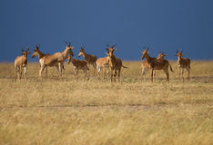 Herd of antelopes in Kenya Royalty Free Stock Images