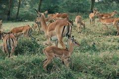 Antelopes at Lake Nakuru. A herd of antelopes at Lake Nakuru National Park, Nakuru County, Kenya Royalty Free Stock Photography