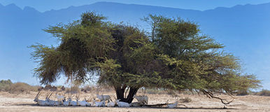 Herd of antelopes resting under big acacia tree in desert Royalty Free Stock Photography