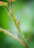 Herd of aphids Stock Photos