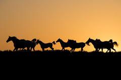 Herd of arabian horses at the sunset. In silhouette Stock Images