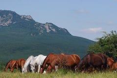 Herd of arabian horses Royalty Free Stock Photo