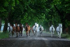 Herd of arabian horses on the autumn village road royalty free stock images