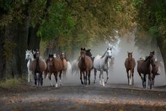 Herd of arabian horses on the autumn village road royalty free stock photo
