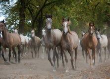 Herd of arabian horses on the autumn village road stock photos