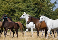 Herd of arabian horses. Galloping on the pasture Stock Photos