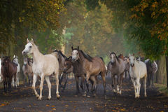 Herd of arabian horses on morning village road Royalty Free Stock Photos