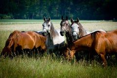 Herd arabian horses. On pasture Stock Photos