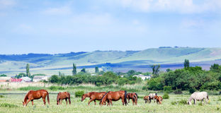 Herd of arabian horses at pasture Stock Photography