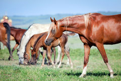 Herd of Arabian horses at pasture. Outdoor Royalty Free Stock Images