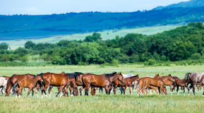 Herd of arabian horses at pasture Stock Photos