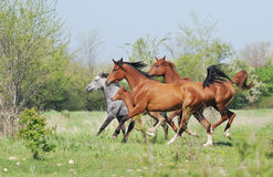 Herd of arabian horses running on pasture stock photos