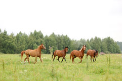 Herd of arabian horses running on pasture Stock Photos
